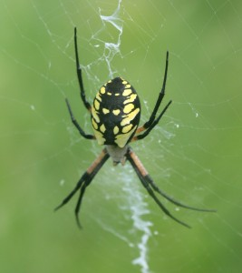 Argiope aurantia female Kutz Prairie--27 Aug 2011--Blue Earth Co